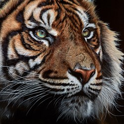 Watchful Tiger by Gina Hawkshaw - Original Painting on Box Canvas sized 24x24 inches. Available from Whitewall Galleries